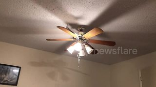 Doves go for a ride on a ceiling fan - Video