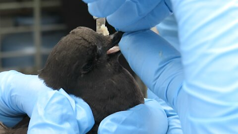 Adorable tiny petrel makes progress in rehabilitation