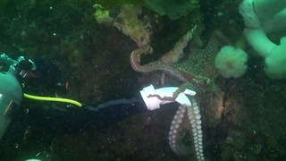 Curious octopus closely inspects scuba diver