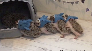Hedgehog Siblings Reunite For A Little Masquerade - Video