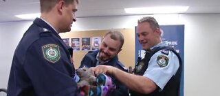 Orphaned wombat joins police squad