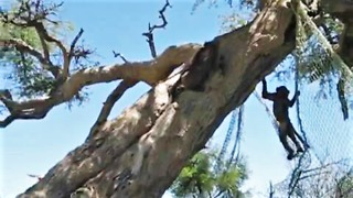 Rescued baby baboons having fun - Video
