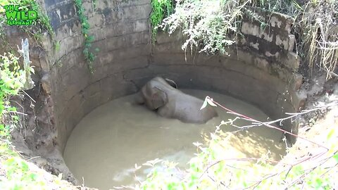 Helpless Baby Elephant Rescued From Well Returns To The Wild