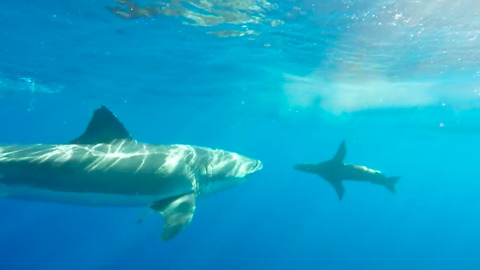 Surprisingly Friendly Shark Enjoys Swimming With Sea Lions