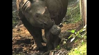 Newborn One-Horned Rhino Calf - Video