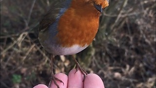 Slow motion captures robin feeding from human hand - Video