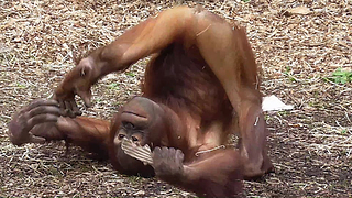 Orangutan youngster just keeps on rollin' - Video