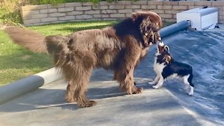 Puppy uses pool cover to escape from Newfie playmate