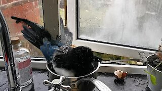 Magpie stops by kitchen to bathe in a saucepan