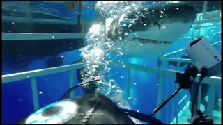 Great White Shark Crashes Into Cage, Struggles, Escapes - Video