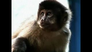 Monkeys Cause Mayhem In Brazil - Video