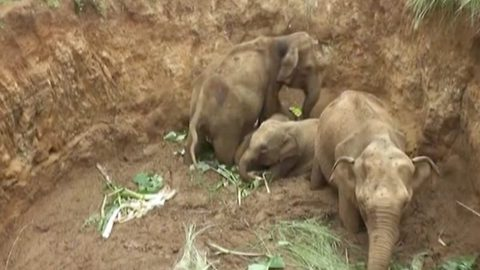 Dramatic rescue of four elephant calves who had fallen into deep agro-well in Sri Lanka