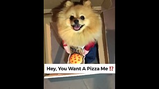 Pomeranian pizza delivery will melt your heart!