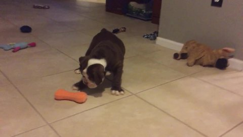 Curious puppy plays with squeaky toy for the first time