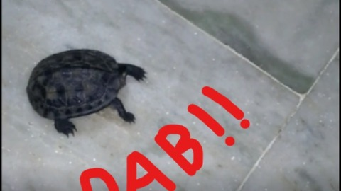 Even Animals Dab (Tortoise)!!!