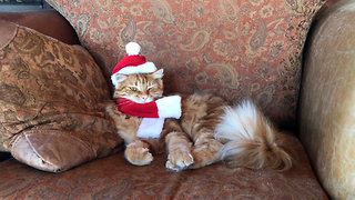 Funny Patient Cat Models Christmas Santa Hat and Antlers  - Video