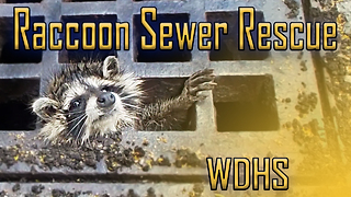 Raccoon Sewer Rescue - Video