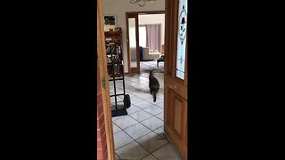 'Curious' wallaby explores woman's house in Melbourne - Video