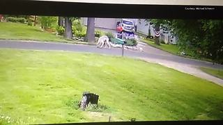 Wolf-like creature spotted in Racine County - Video