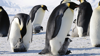 Awesome Facts About Emperor Penguins - Video