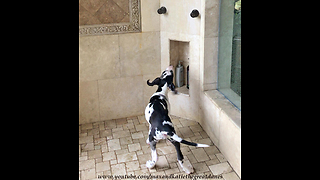 Playful Great Dane Puppy Enjoys His First Shower