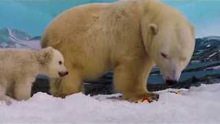 Sea World Unveils Polar Bear Cub Name as Mishka - Video