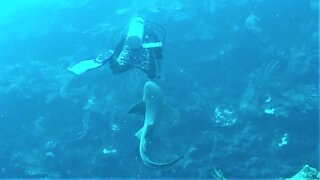 Friendly nurse shark approaches scuba diver for some love