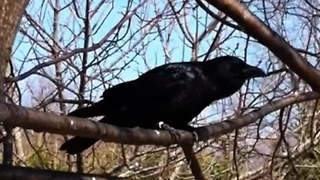 Rescued baby crow returns to family one year later - Video