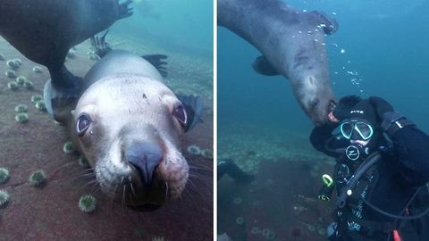 Mesmerising video shows sea lions hanging out with divers
