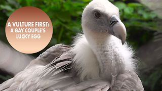Amsterdam zoo's gay vultures remind us to celebrate dad - Video