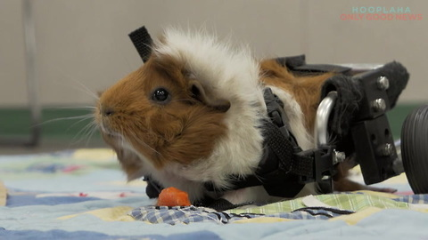 Rescued Guinea Pig Gets Second Chance With Love And A Wheelchair