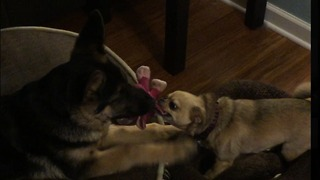 25 pound puppy VS 5 pound chihuahua - Video