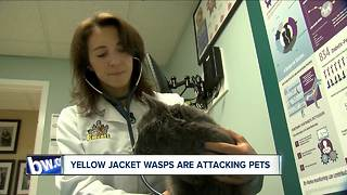Yellow jackets attacking pets - Video