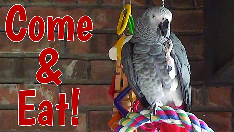 Hospitable Talking Parrot Enjoys Imaginary Dinner