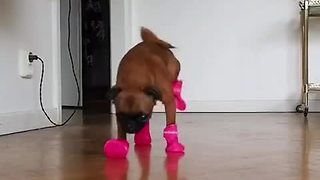 Puppy comically struggles to walk with new boots - Video
