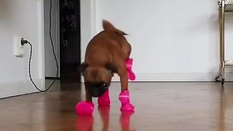 Puppy comically struggles to walk with new boots