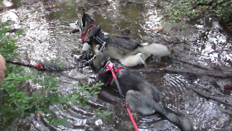 Huskies Cool Off In The Mud Together