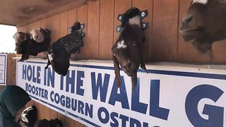 For Goat's Sake! Ranch's Hack For Feeding Goats Results In Hilarious Wall