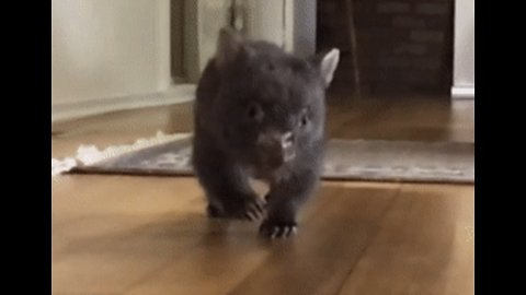Orphaned Baby Wombat Speeding His Way to Recovery