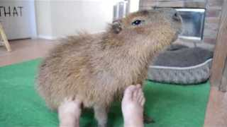 Relaxed Capybara Enjoys an Unusual Foot Massage - Video