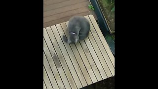 Kitty proves that cats also chase their own tails! - Video