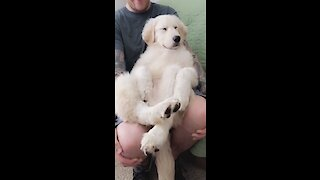 Super chill pup lounges on top of owner