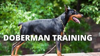 Doberman Training - Working as a Group