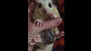 Adorable sugar glider and baby enjoy meal - Video