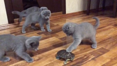 Adorable kittens left intrigued and disorientated after meeting turtle sibling