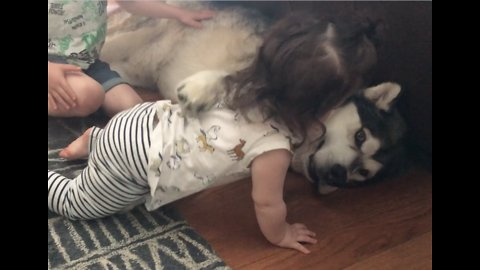 Alaskan Malamute shows incredible patience as little kids interact with him