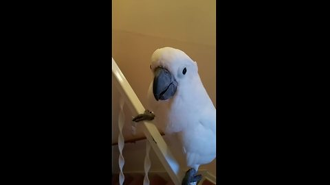 Cockatoo loves to slide down stair railing