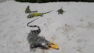 Pack of Iguanas eating bananas on the beach