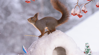 squirrel at the north pole - Video