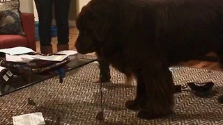Toddler gets in the way of giant Newfoundland, pays the price - Video